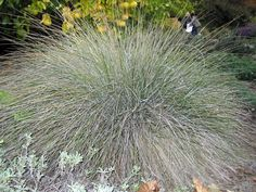California fescue (Festuca californica) is a bunch grass that grows in clumps and anchors soil on creek banks.