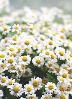 Lovely daisies #camomile #flowers #floral