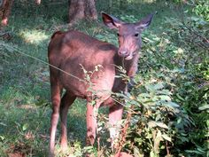 Sambar deer are common in Wilpattu National Park, Sri Lanka. Sambar Deer, Sri Lanka, National Parks, Character, Animals, Animaux, Animal, Animales, Lettering