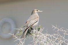 Grey-bellied Shrike-Tyrant (Agriornis micropterus)