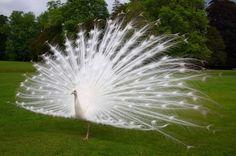 Pavão branco, a noiva da natureza | Moda Ética
