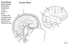Human Brain Worksheet coloring page | Free Printable Coloring ...