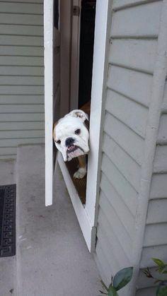 Very determined bulldog vs. half open back door: | 19 Incredibly Epic Battles Between Dogs And Doors
