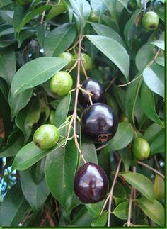 Cambui, Rainforest plum or Eugenia candolleana
