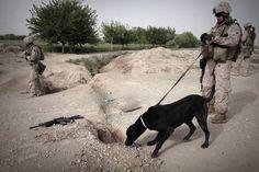 アフガニスタンで爆弾探知犬とともにゲリラが仕掛けた簡易爆弾(IED)を捜索する米海兵隊の兵士(2010年03月31日) 【AFP=時事】