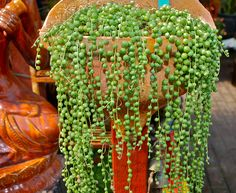 Senecio rowleyanus ~ String of Pearls | Flickr - Photo Sharing!