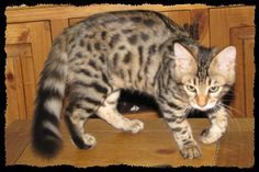 Viverral Cat