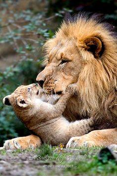 Fulgida criniera, aspetto maestoso, grandi occhi ambrati e terribili ruggiti, il leone è simbolo di potenza e regalità. Padrone della savana, è capace di gesti di suprema ferocia e, al contempo, di sorprendenti tenerezze.
