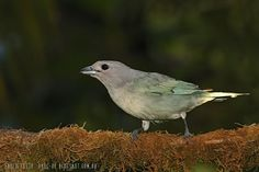 mis fotos de aves: Thraupis sayaca Celestino común Sayaca tanager