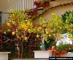 """BrowsingItaly.com » """"Show and Tell"""": Positano, Amalfi Coast - Plethora of lovely lemons"""