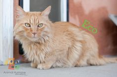 Hey there,  I'm Eco! I'm a six year old gentleman with a colorful orange tabby coat. I have emerald green eyes that are looking for someone to love. I enjoy being combed to keep my coat soft and fluffy.
