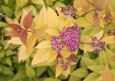 SPIRAEA japonica 'Firelight' Plants, Japonica