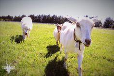 If there are goats, Flo's not too far behind! #GoWithTheFlo #GoatsRule #GatherDiscoverCelebrate