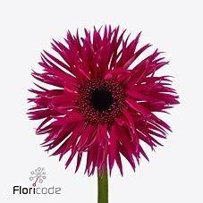 Gerbera Spider Fantasia is a pretty Cerise cut flower.