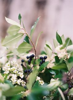 rustic-blueberry-bushes