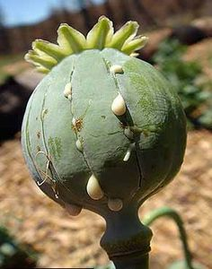 "This is mature opium poppy. The opium has just been cut and what is dripping from the seam is a milky latex sap containing a ""naturally occurring narcotic ..."