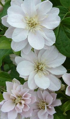 Clematis Dancing® Queen ('Zodaque') Oh, so lovely! Must go on the same trellis with a bluey-purple one. by katharine Pretty Flowers, White Flowers, Plants, White Gardens, Beautiful Flowers, Perennials, Love Flowers, Trees To Plant, Clematis