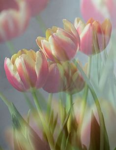 Tulips by Aidan Mincher