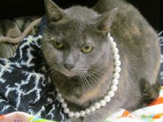 My name is Baby Girl! I am being fostered by a staff member so I get to lounge in her office all day. Clearly by my pearls, I have a great taste in fashion. I am very sweet and loving. I get along with other cats and I like to be brushed. I use my litterbox and I like salmon flavored cat treats.
