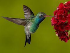 Broad-Billed Hummingbird, Male Feeding on Garden Flowers.