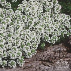Thymus praecox Albiflorus - White Moss Thyme - USDA Zone: 2-9 - suppresses weeds http://www.naturallivingideas.com/8-natural-ways-to-kill-garden-weeds/