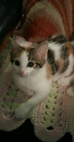 Animals for Adoption. Our gorgeous Veronica. She is about 4 months old, and updated on her first round of shots. If you're interested in meeting Veronica, visit https://www.petfinder.com/petdetail/33733908/