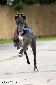 joyful greyhound