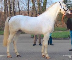 Freiberg Horse; The breed began when local Jura mares were crossed with English Thoroughbred, Anglo-Norman, Breton, Belgian Draft & Arabian animals & they were one of the first light draft breeds developed in western Europe. The bloodlines were systematically crossbred until 1910, when selection narrowed to purebred animals only.