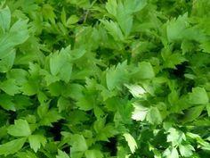 FOTO Libeček si zamilujete v každé podobě! Healing Herbs, Medicinal Plants, Nordic Interior, Korn, Herb Garden, Detox, Life Is Good, Roots, Seeds