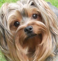 Whatcha thinkin' behink those beautiful intellegent eyes? Puppies Tips, Cute Puppies, Cute Dogs, Dogs And Puppies, Doggies, Love Pet, Puppy Love, Yorkie Haircuts, Yorshire Terrier
