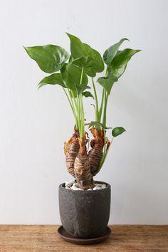 Weird Plants, Exotic Plants, Types Of Plants, Tropical Plants, Nature Plants, Foliage Plants, Garden Plants, Indoor Plants, Alocasia Plant