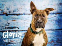 Meet GLORIA, a Petfinder adoptable Boxer Dog   Rancho Cucamonga, CA   Petfinder.com is the world's largest database of adoptable pets and pet care information....