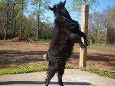 Wilson strutting his stuff The Struts, Goats, Animals, Animales, Animaux, Animal, Animais, Goat