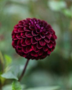 Dahlias are fascinating flowers. This is 'Dark spirit'. So easy to love if you…