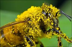 thats how the bees transport the pollen from one plant to another