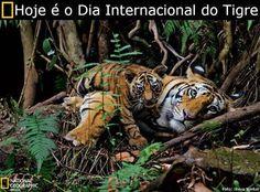 Hoje (29 de julho) é o Dia Internacional do Tigre. A data foi criada com objetivo de proteger e expandir o habitat do felino e obter apoio para a conservação da espécie.  Encontrados em grande parte da Ásia, os tigres habitavam lugares tão diversificados (florestas tropicais, pântanos e savanas) que acabaram evoluindo em populações regionais com padrões e tamanhos distintos, a ponto de serem classificadas em subespécies diferentes.