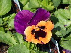 Inspire Purple & Orange Pansy