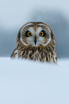 Short-eared Owl by Matt Binstead