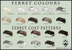 Ferret colors and coat patterns. Hamsters, Ferrets Care, Baby Ferrets, Funny Ferrets, Rodents, Ferret Toys, Pet Ferret, Otters, Chinchillas