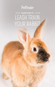 While the most important form of exercise for pet rabbits is freedom to roam in a safe area, rabbits can also be trained to walk (er...hop) on a leash. #rabbitpets