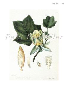Tulip Tree 1984 Joseph Prestele Vintage Botanical Lithograph ... in my shop now!