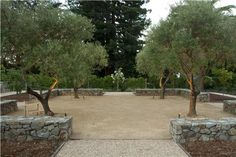 olive tress, decomposed granite - Spacious Backyard Design  Backyard Landscaping  Shades of Green Landscape Architecture  Sausalito, CA