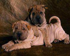 Shar pei puppies ♡