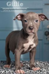 *I love this one...*  Gillie is an adopted Pit Bull Terrier Dog in Columbus, OH. Gillie and her siblings were born at a county shelter on 11/25/11 (the day after Thanksgiving). Fortunately a foster home was found for mama ...