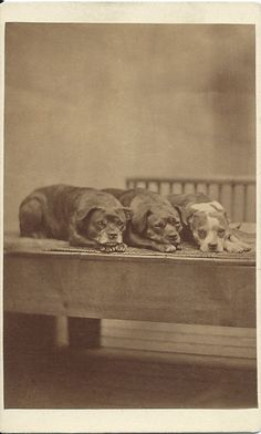 c.1870s cdv of three charming bull terriers lying side by side with their heads between their paws. Photo by H. Pointer, 15 Bloomsbury Place, Marine Parade, Brighton. Harry Pointer was best known for his photographs of cats. From bendale collection