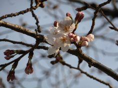 170:「大阪城公園の桜の標準木の花が5輪咲いたので開花宣言した桜の花です。」@大阪城公園