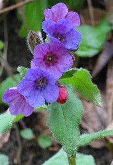 Plicník lékařský je léčivá rostlina z čeledi brutnákovitých. Roste v hájích a lužních lesích. Byl rovněž typickou rostlinou středověkých zahrad a v současnosti se jako hajnička pěstuje především na venkovských zahradách.