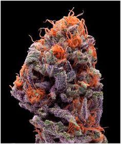Pez Cannabis strain review