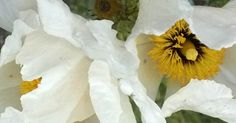 Matilija Poppy, Romneya coulteri Montara CA  Native Plant, CA Native, Drought Tolerant, Flower, Garden, Nature  #flowerphotography, #gratitude, #naturephotography #gardenphotography, #nofilter, Anne Strasser Blog,  Bloom, Daily Gratitude, Daily Meditation, Daily Surprise, Flower, Matilija Poppy, Meditation, Nokia Lumia 822, Photography, Poppy, Romneya Coulteri.