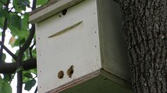 If you like the idea of getting bees for free then you'll want to check out setting up bait hives. Bait hives are just that – a bait or type of lure designed to attract a swarm of honey bees that are looking for a new home. Prior to the actual swarm casting from a …